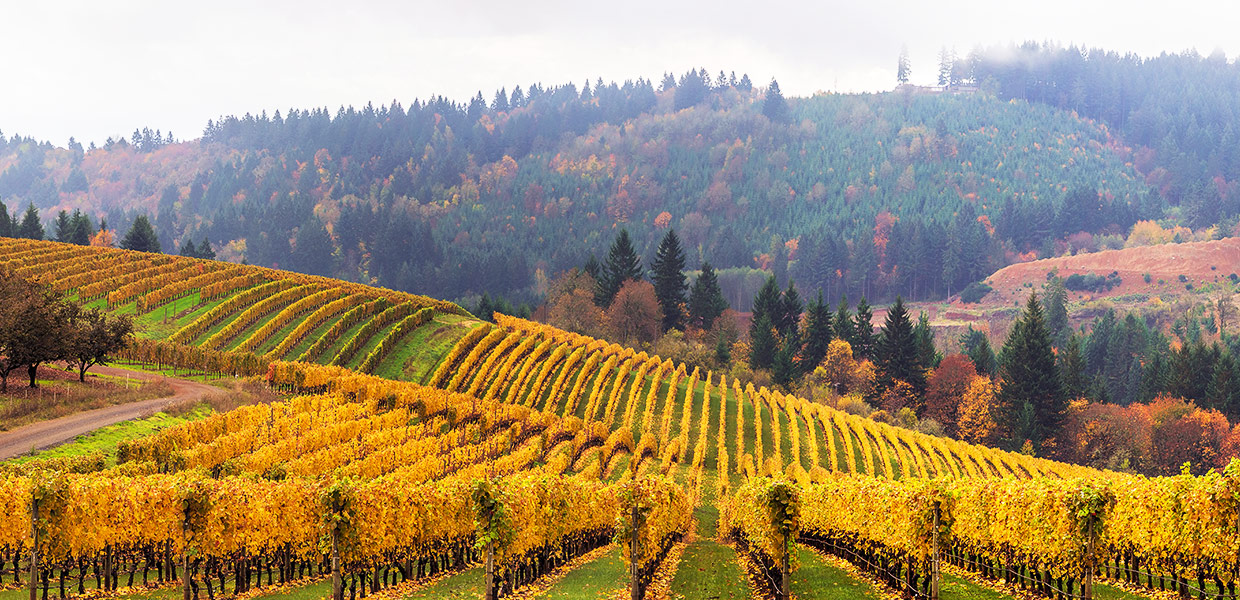 Fall colors on rolling hills of grapevines at vineyards in Dundee Oregon in autumn USA America